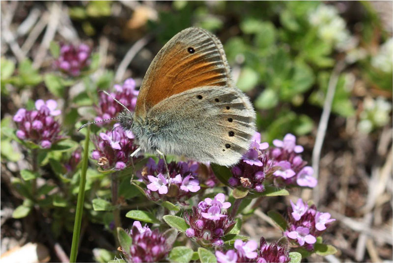 Eastern Large Heath