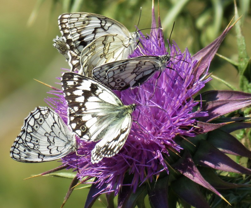Eastern Marbled White
